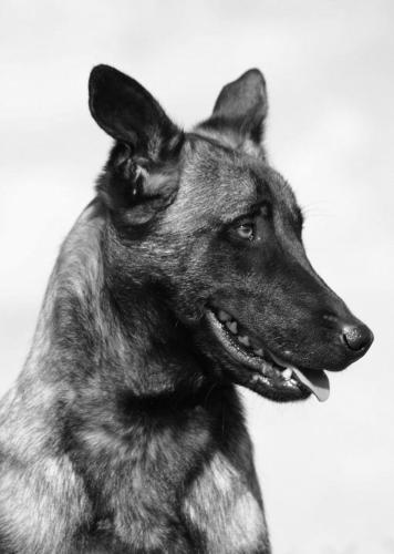 Cairo el perro Navy Seal