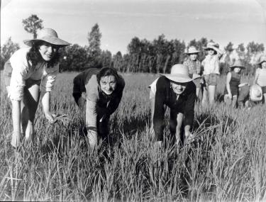 Cultivadoras de arroz (mondine) en 1940